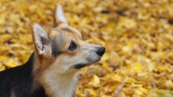 Welsh Corgi Pembroke végrehajtja a Ad öt parancsot. Egy kutya, egy séta a gyönyörű őszi erdőben a hostess.