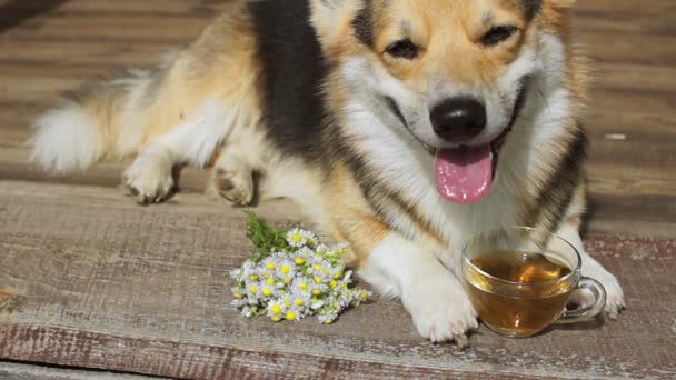 Čas na čaj. Welsh Corgi Pembroke pes s šálkem čaje.