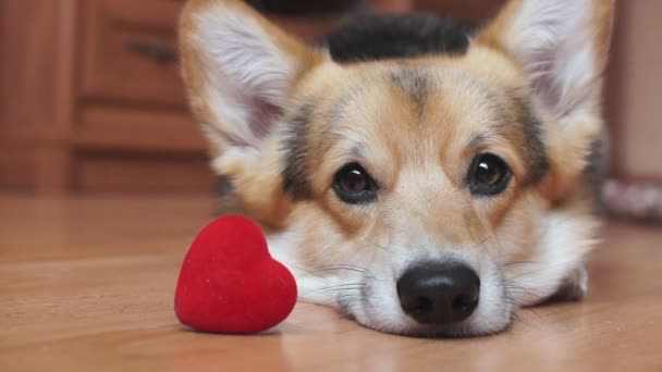 A lovely loving dog with a red heart congratulates Valentines Day, All Lovers Day.