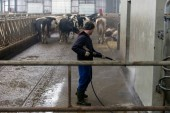 modern cowshed, for the cultivation of dairy breeds of cows, peeing and croaking cows