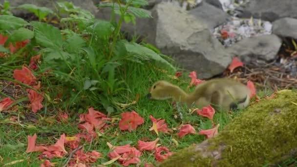 Žluté káčátko vychytávky zelené trávy na louce poblíž kameny u jezera a je stará pokryté mechem, obklopený okvětními lístky červené květy na letní den
