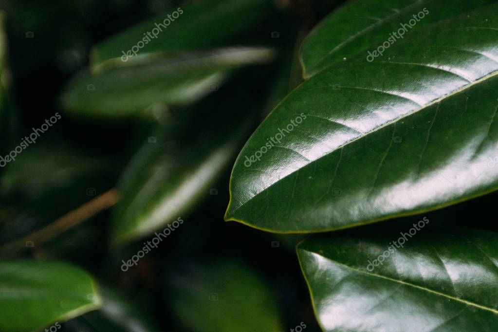 Juicy green magnolia leaves begin to turn yellow in early autumn. Flickering light