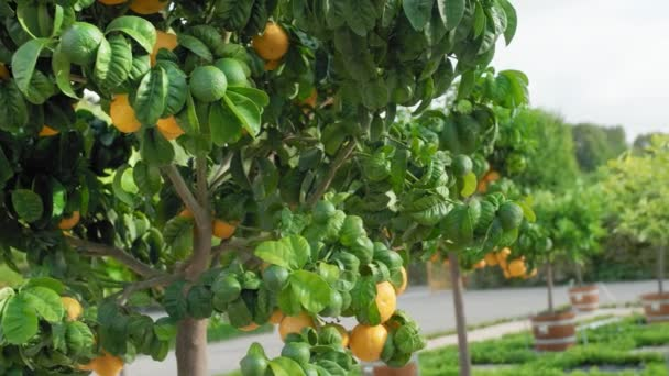Green tangerines on the tree. Ripe and unripe citrus fruits on a single tree in a citrus grove. Slow Motion close-up