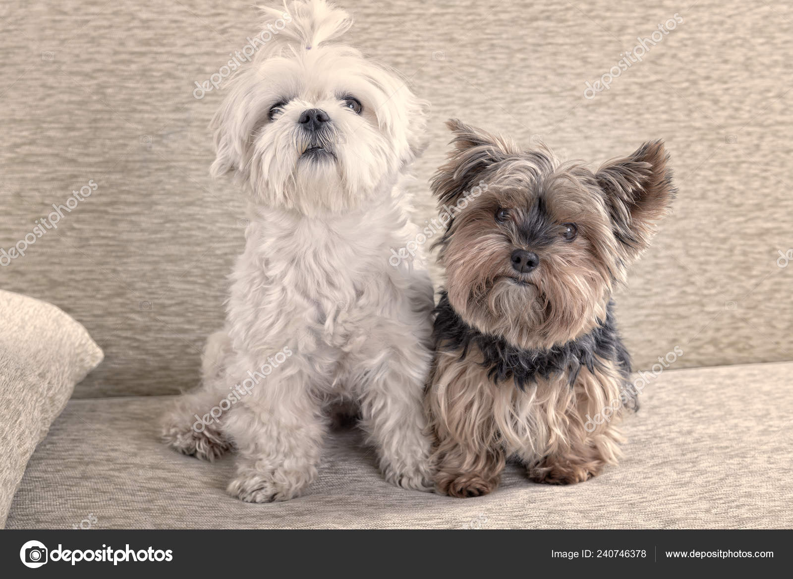 Maltese Puppy Brown And White Two Cute Dogs White Maltese Yorkshire Terrier Sofa Home Stock Photo C Amaviael 240746378