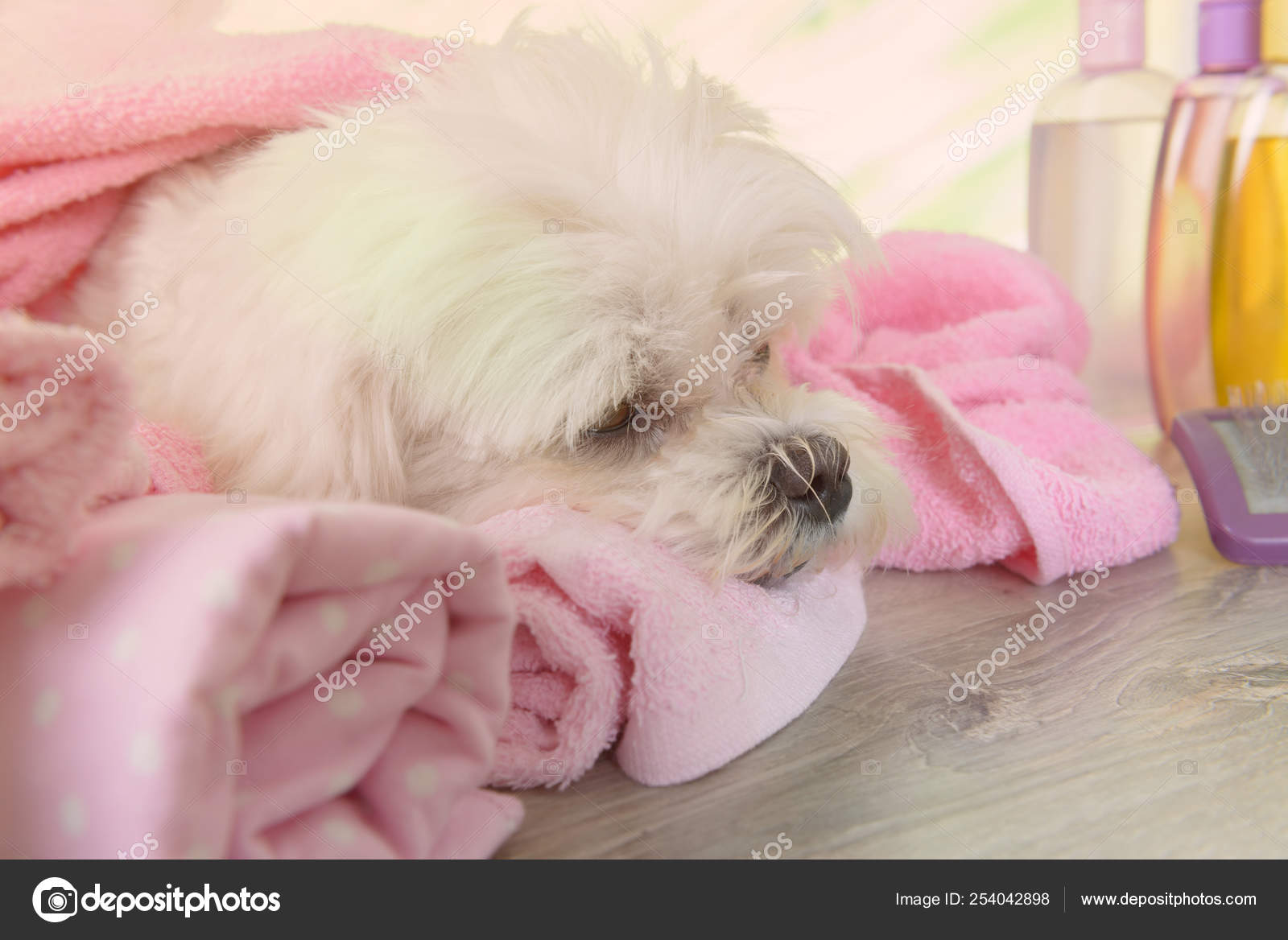 Little Maltese Dog At Spa Stock Photo C Amaviael 254042898