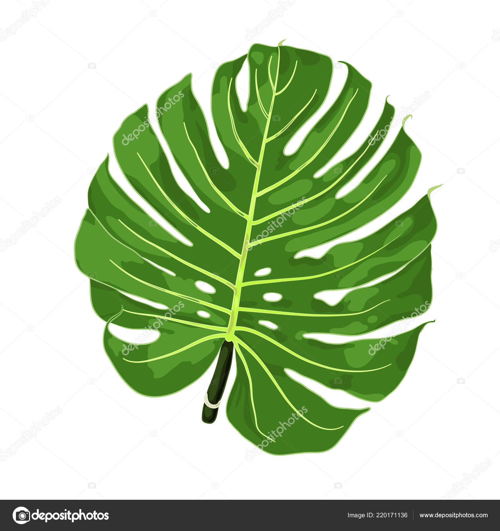 Illustration Vectorielle Monstera Dessin Grande Tropical