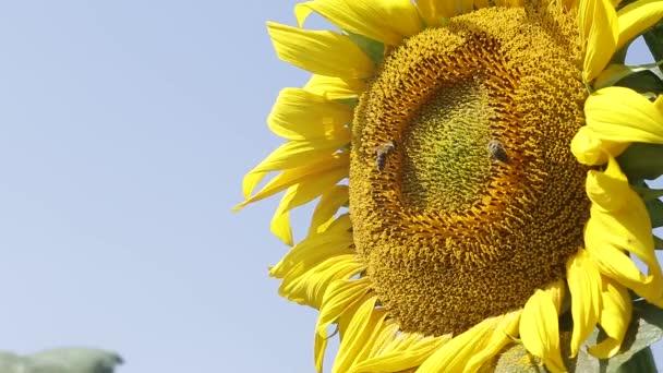 včelí slunečnice