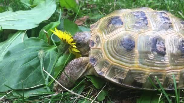 Kétéltű teknős eszik pitypang forgatták a iphone Se