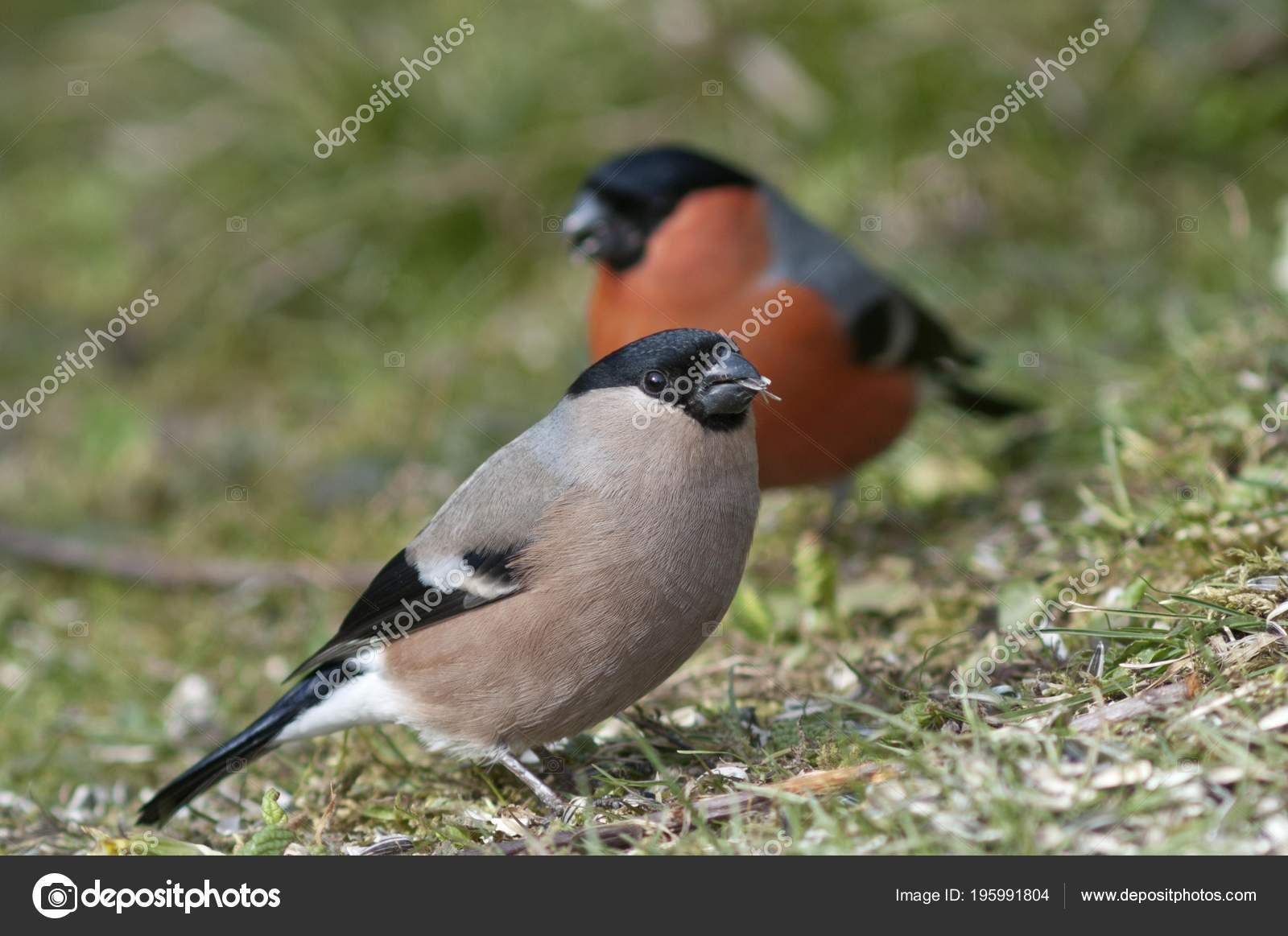 gimpel vögel weiblicher vogel und männchen sammeln gefallener