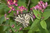Régi világ fecskefarkú Papilio machaon pillangó, szárnyak külső
