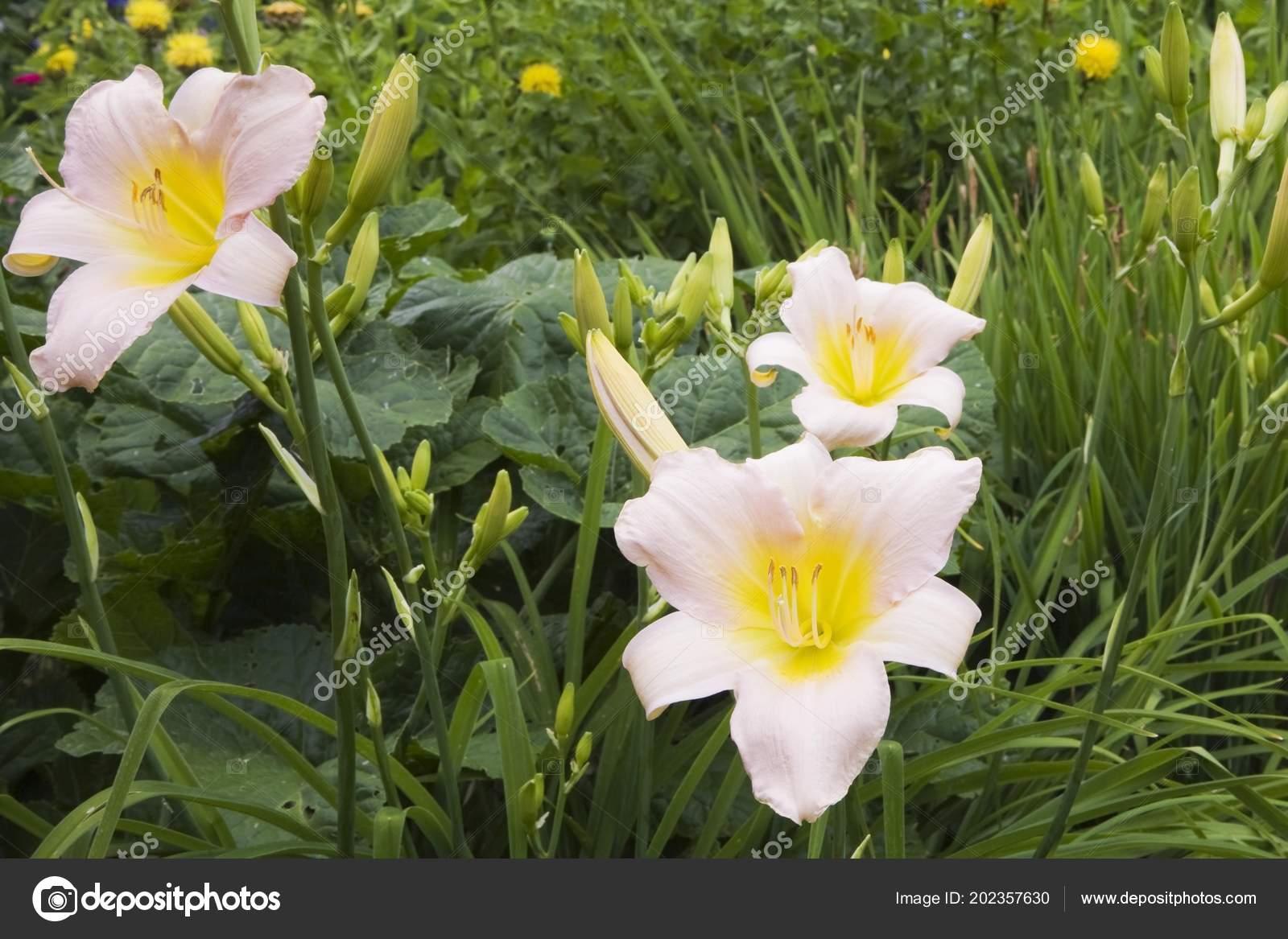 Все о лилейниках цветах