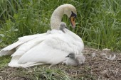 Mute Swan, Cygnus olor in nest with two cygnets