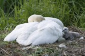 Mute Swan, Cygnus olor in nest with cygnet and egg