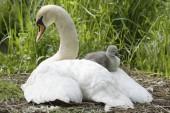 Mute Swan, Cygnus olor in nest with cygnet