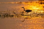 Fotografie Sonnenuntergang am See, Graureiher, Ardea Cinerea Hintergrundbeleuchtung durch die untergehende Sonne