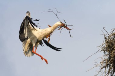 flying White Stork bird, Ciconia ciconia approaching to land with nesting material