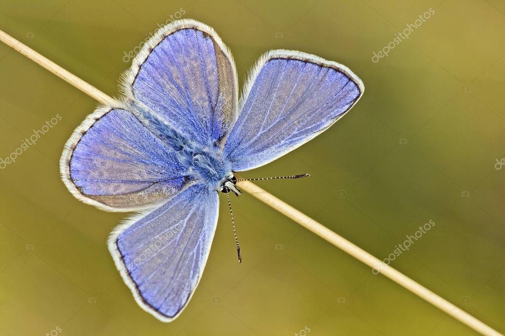 Common Blue, Polyommatus icarus butterfly