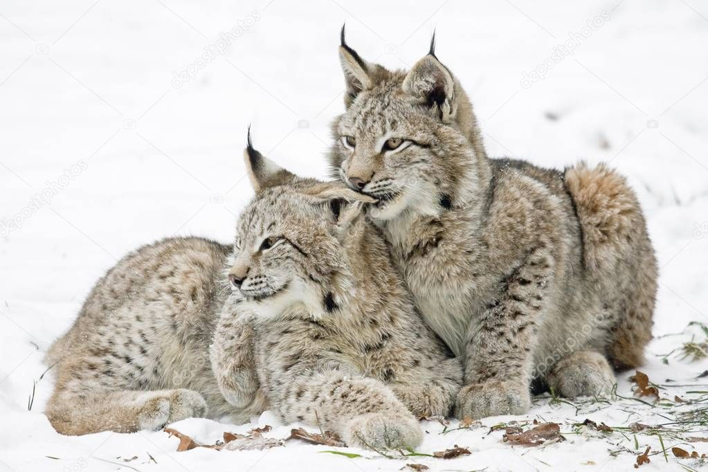 Two young lynxes, Lynx lynx nestled together in the snow, captive