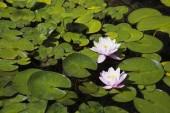 Dvě bílé a růžové lekníny Nymphaea ve vodě