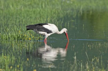 White Stork foraging for food at swamp