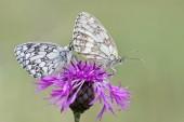 Márványozott fehér pillangók, Melanargia galathea, a Brownray Knapweed, Centaurea jacea