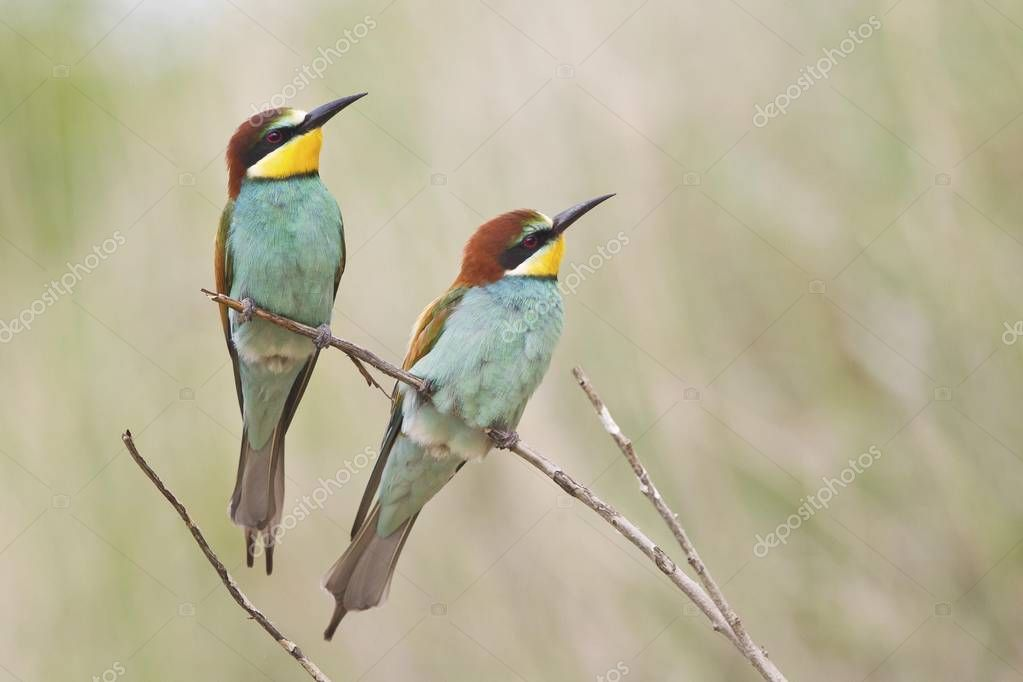 Two Bee-eaters birds on tree twig