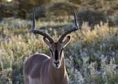 Černěný-tváří v tvář Impala v přirozeném prostředí