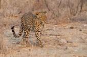 majestátní Chlupaté Leopard na divoké přírody