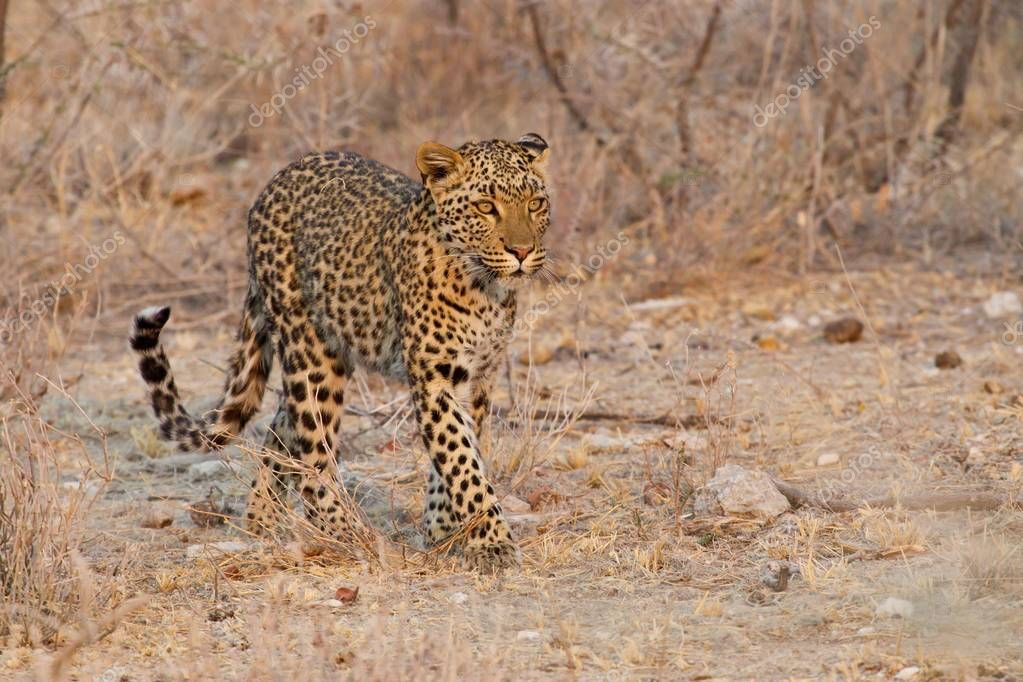 majestic furry Leopard at wild nature