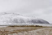 Large pod of Walruses, Phippsya, Sjuyane, Svalbard Archipelago, Svalbard and Jan Mayen, Norway, Europe