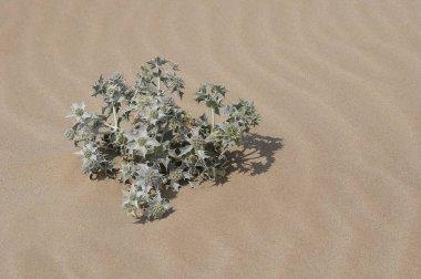 closeup view of Sea Holly or Eryngium maritimum