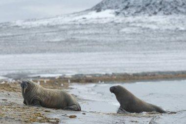 beautiful walruses in natural habitat, Phippsya, Sjuyane, Svalbard Archipelago, Svalbard and Jan Mayen, Norway, Europe