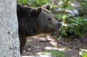 Fotografie cute Brown Bear at wild nature