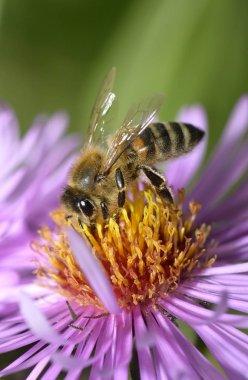 Honey bee sucking up nectar detailed macro shot view
