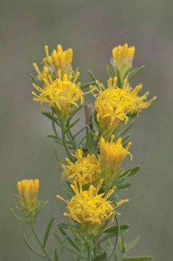Goldilocks Aster flower against blurred background