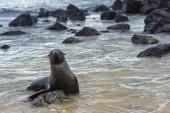 Fotografie roztomilé štěně Galpagos lachtan, Galpagos