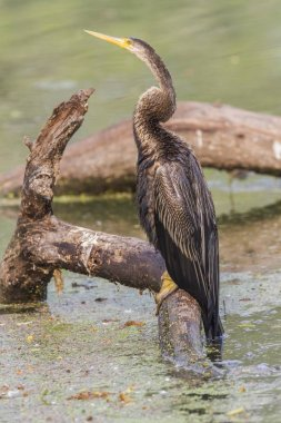 Oriental Darter sitting on tree branch at water