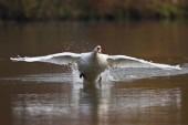 Photo Mute Swan bird taking off from water