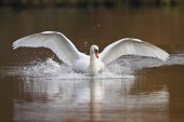 Photo Mute Swan landing on water front view