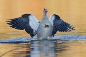Photo Egyptian Goose in the water with spread wings
