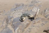 Young Brown Fur Seal or Cape Fur Seal sleeping on a rock