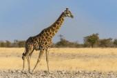 Photo Giraffe at wild life, Etosha National Park, Namibia, Africa