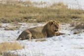 Muž Lev Lev odpočinek s plným žaludkem na okraji solné pánve Etosha, národní Park Etosha, Namibie, Afrika