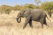 Slon africký procházel suchá buš, národní Park Etosha, Namibie, Afrika