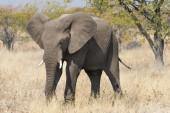 Slon africký, krmení, národní Park Etosha, Namibie, Afrika