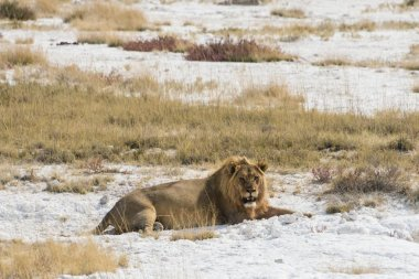 Lion male lion resting with a full stomach on the edge of the Etosha salt pan, Etosha National Park, Namibia, Africa
