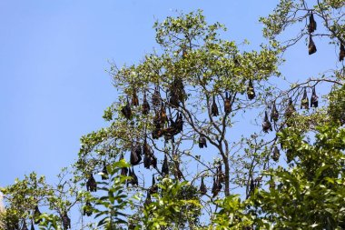 Indian Flying Foxes (Pteropus giganteus), colony at roost, nature reserve near Godahena, Galle region, Southern Province, Sri Lanka, Asia