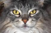 Maine Coon cat, closeup muzzle portrait