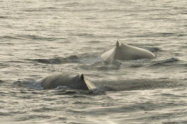 Humpback Whales (Megaptera novaeangliae) at the sea surface, Barents Sea, Nordaustland, Svalbard Archipelago, Svalbard and Jan Mayen, Norway, Europe