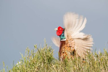Pheasant (Phasianus colchicus), fluttering jump, male, Texel, North Holland, The Netherlands, Europe